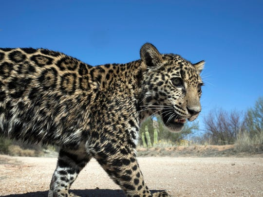 Since 1996, seven jaguars have been detected north