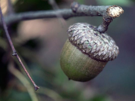 An acorn on a snapped twig is entangled in brush along