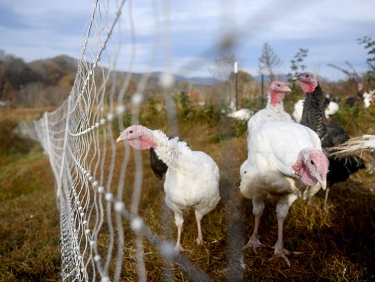Turkeys roam their enclosure at Hickory Nut Gap farm