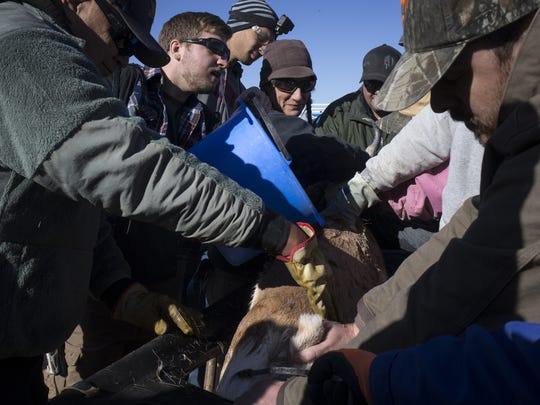 Devorah Young, center, of the Phoenix Zoo, and other capture team members' process and cool a Sonoran pronghorn by pouring water on it during a roundup on the Cabeza Prieta National Wildlife Refuge.