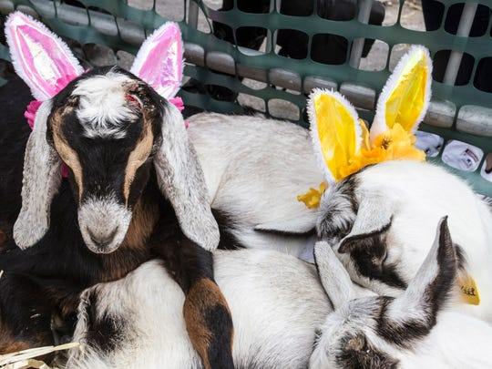 A few of the competitive goats at the Bock Fest were