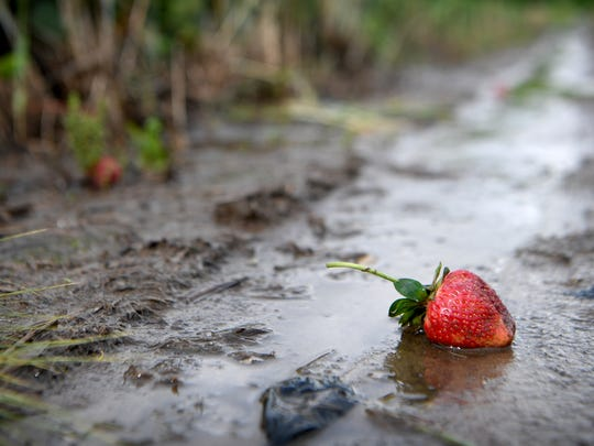 A strawberry ruined by excessive rain sits between rows in Jason Davis' field in Mills River on Wednesday, May 30, 2018. Davis, owner of North River Farms, estimates that rain and flooding at have destroyed at least half of this year's strawberry crop.