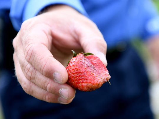 "Jason Davis shows off a strawberry that has ""rain rot"" and will be thrown out in his field on Wednesday, May 30, 2018. Davis, owner of North River Farms, estimates that rain and flooding at have destroyed at least half of this year's strawberry crop."