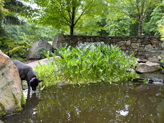 Willow, Jeff Wilke and Jenny Gray's dog, drinks from the landscaped pond in front of their home in Deerhaven.
