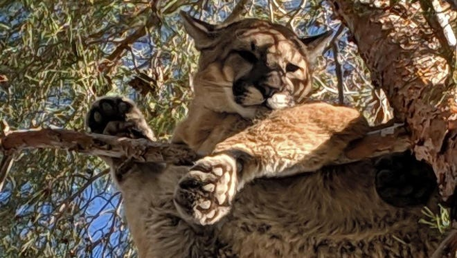 A homeowner called authorities after spotting this big cat in a tree in Hesperia, California.