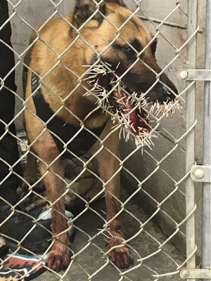 Odin is recovering after encountering a porcupine and getting stuck with over 200 quills in Coos Bay, Ore.