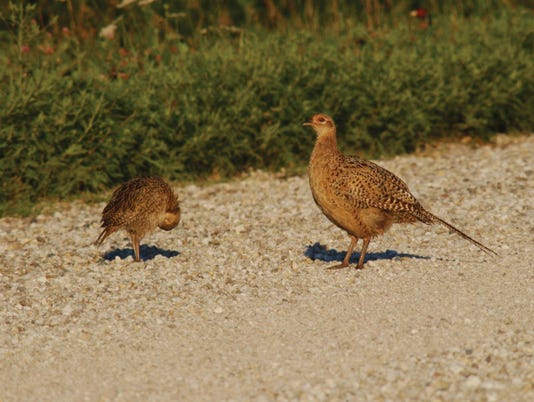 636066093124024772-young-pheasants-august2.jpg