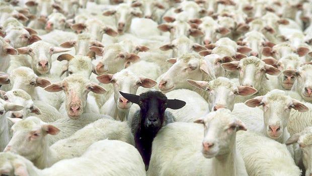 Black Sheep?