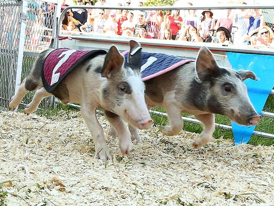 Furry competitors race at the Swifty Swine Racing Pigs