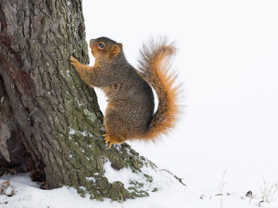 A red squirrel perches on a Garvin Park tree after digging up a snack in the snow Monday afternoon.