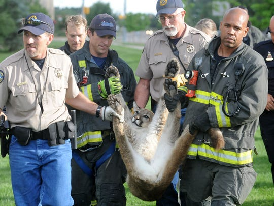 Wildlife officials and firefighters carry a mountain lion to a crate after it was found in east Fort Collins and tranquilized in August 2013.