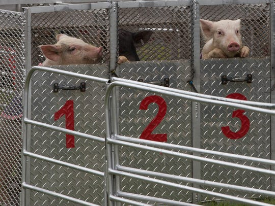 A few of the pigs look out from their racing starting