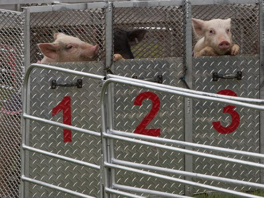 A few of the pigs look out from their racing starting gate before the start of a race at Swifty Swine Racing one of the many attractions at the Southern New Mexico State Fair. Wednesday September 27, 2017.