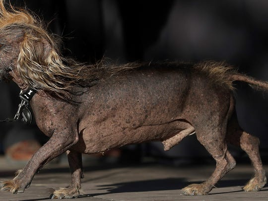 Himisaboo, Chinese Crested and Dachshund mix, walks
