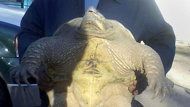 Tommy Bolack took this picture of a large snapping turtle that was recently caught on Bolack's B-Square Ranch just south of Farmington.