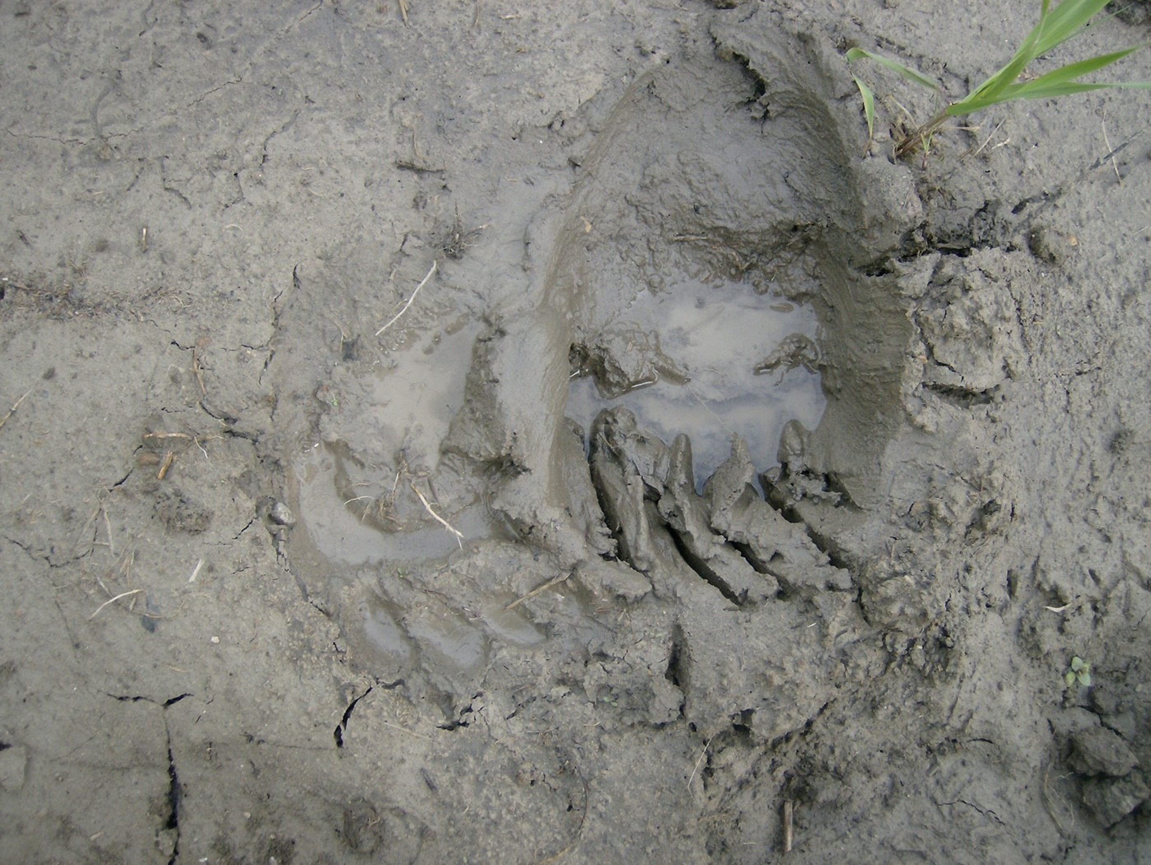 A track left by a grizzly bear near the Missouri River