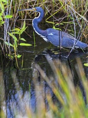 A tri-colored heron wades through a marsh in Everglades