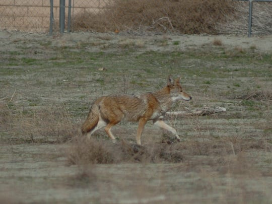 """Experts say the easiest form of """"coyote hazing"""" is to yell and wave your hands frantically, or blow a whistle or air horn, noise that intimidates coyotes."""