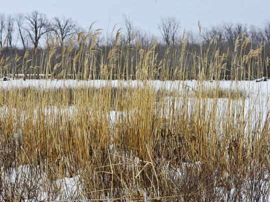 A stand of the native, and rare, common reed (Phragmites australis, sub-species americana) at the Missisquoi National Wildlife Refuge in Swanton, seen on Monday, February 9, 2015. The reed is the same species as the much more common, and invasive, Phragmites australis, often seen along roadways.