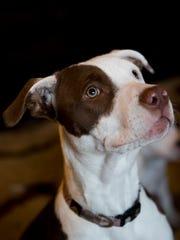 Dakota, a six-month old pit-bull and weimaraner mix,