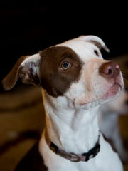 """Dakota, a six-month old pit-bull and weimaraner mix, patiently sits at her owner's home Monday, Jan. 30, 2017 in Golden Gate Estates. Dakota was recently adopted by Veronica Bertrand and her boyfriend Jesse Peterson at the Naples Humane Society. But not before she traveled to New York City in October to be filmed for Animal Planet's upcoming """"Puppy Bowl"""" on Feb. 5th."""