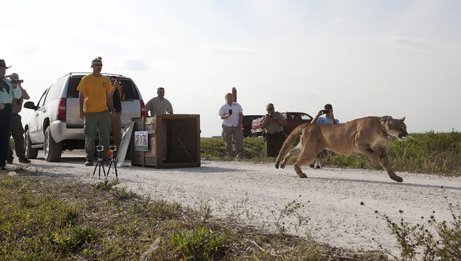 State wildlife managers stopped short of endorsing a new panther policy on Tuesday.