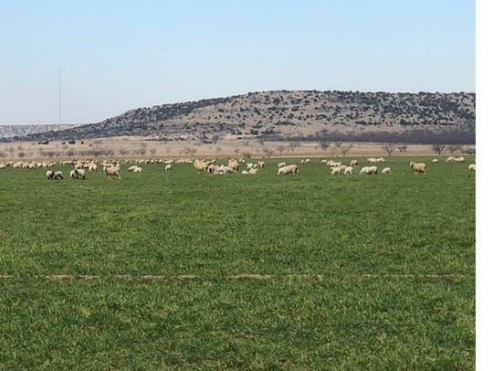 Sheep graze winter wheat pastures on the Cole Ranch.