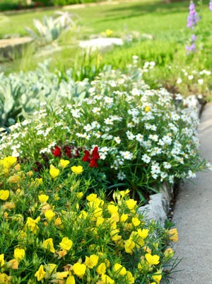 Sundrops and blackfoot daisies make perfect border plants, growing in neat mounds that brighten the garden.