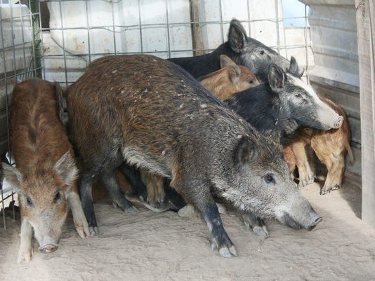 wild-pigs-national-briefs.jpg