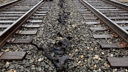 Dozens of dead crows were found dead on the Amtrak rail lines in Springfield, Mich., on Wednesday, March 16, 2016.