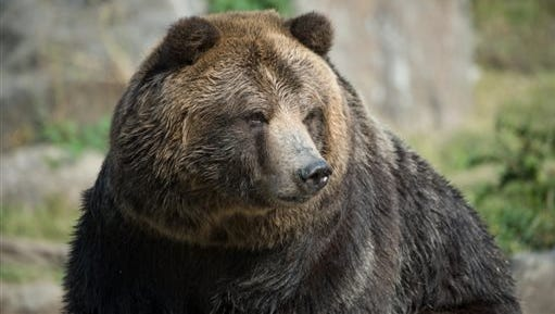 In this photo provided by the Wildlife Conservation Society, grizzly bear Betty is shown at the Bronx Zoo in New York. Betty, along with grizzly bear Veronica, will be relocating to the Central Park Zoo in November.
