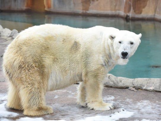 Polar bear Snow Lilly
