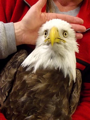 This undated image provided by the Wildlife Rehabilitation Center of Northern Utah shows one of four bald eagle that was brought into the center, but eventually died.