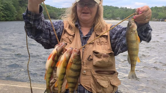 Carol bucked a vicious head wind to pull these plump perch out of Lake Ondawa in Bradford County on Sunday.