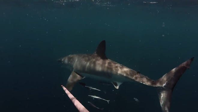 Zack Spurlock, a Brevard County man, shot this up-close video of what he estimates to be a 12-foot-long great white shark off of Port Canaveral on Saturday, May 2, while spearfishing invasive lionfish for FLORIDA TODAY's lionfish-tasting event at Grills Seafood. Screen grab from video.