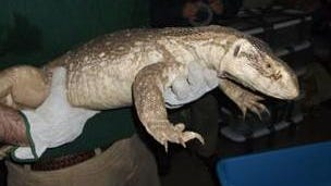 Officers show one of 17 reptiles seized during arrests at a Milltown-area apartment, later condemned as unfit for human habitation.