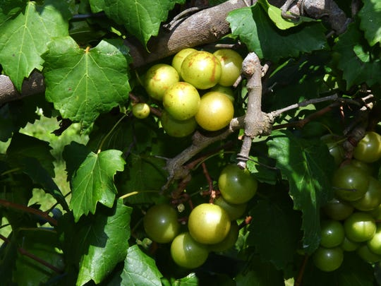 Grapes will soon be ready for picking at RiverHouse