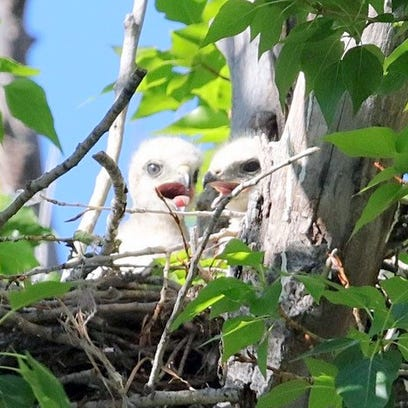 New pair of red-tailed hawk chicks in Fort Stanton nest