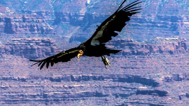 Condor soaring over the South Rim of the Grand Canyon.