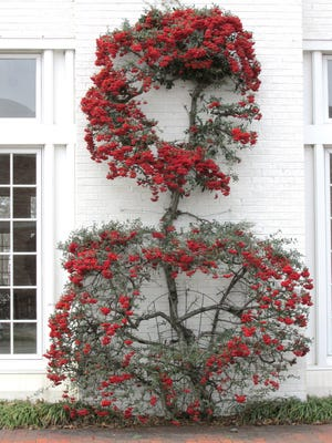 A pyracantha topiary in Williamsburg, Va., looks like a Christmas card against the white brick, says landscape designer Peggy Krapf. Different varieties berry either red or orange; they can be pruned like shrubs or into creative shapes.