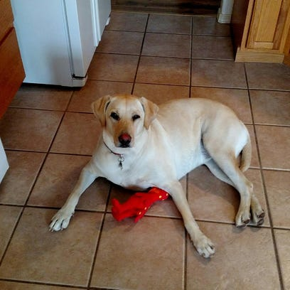 Grace, a 2-year-old Labrador retriever, went missing