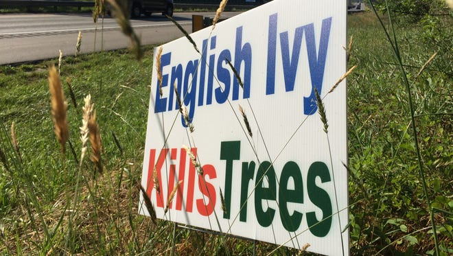 "Signs like these, stating ""English ivy kills trees,"" have been popping up around Asheville."