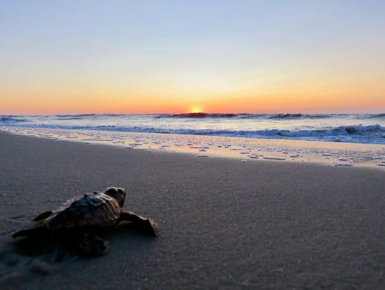 A loggerhead sea turtle hatchling mades its way into