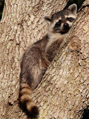 Melissa Keyes caught this raccoon napping in a neighbor's oak tree in Palm City.