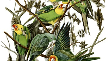 The last Carolina parakeet ever, lost in memory and now just lost
