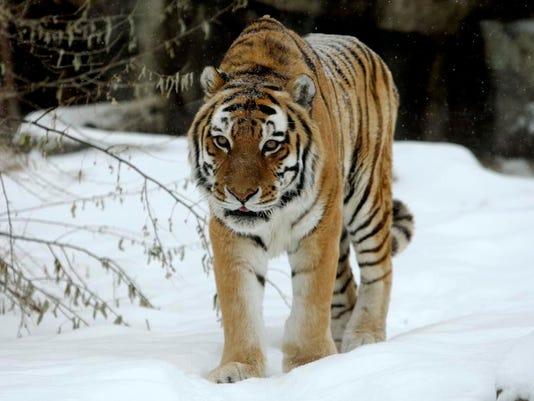 -ZooMontana Tiger Dies_Fran.jpg_20140312.jpg