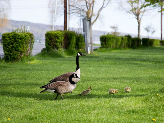 Canada Goose jackets outlet shop - STOP IT: Ithaca bans feeding geese in Stewart Park