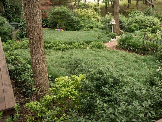 636560379990001750-3-5-18-Mondograss-in-Sperry-backyard.jpg