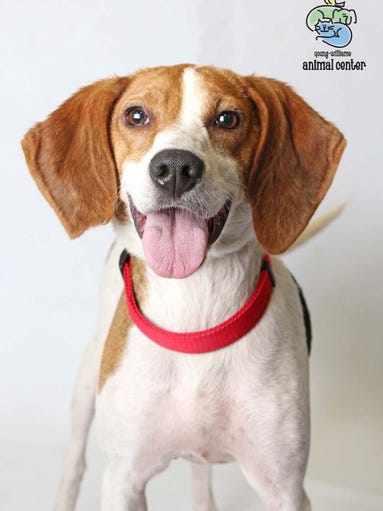 Dandie is a 4-year-old hound mix. She is a fun, loving dog who's great around kids and will require daily exercise. Dandie is spayed and available at Young-Williams Animal Center. For more information, call 865-215-6599 or visit http://www.young-williams.org/.