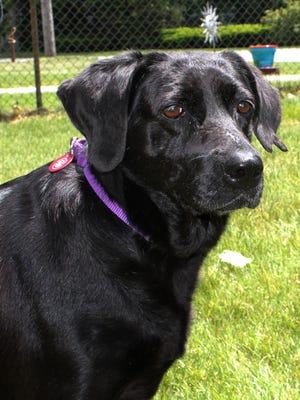 Janet, a 6-year-old Black Lab mix, is available through Save One Soul Animal Rescue.
